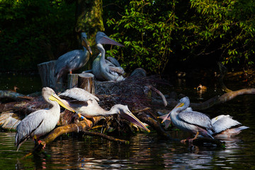 Pelicans on pond