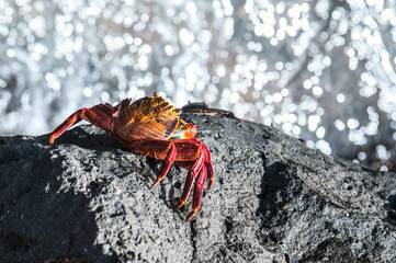 Sally Lightfoot Crab from Galapagos Islands