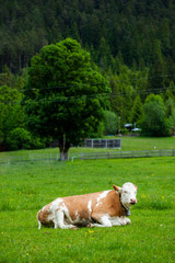 cow laying down on the meadow
