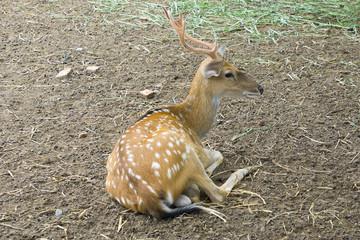 a seated deer