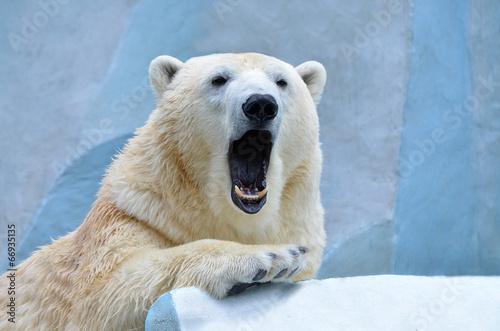 Foto op Canvas Ijsbeer Медведь зевает.