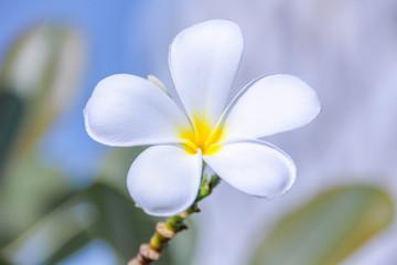 Lelawadee flower