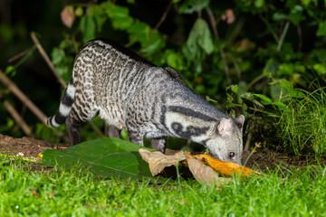 Nocturnal animals Viverra zibetha(Viverra zibetha)