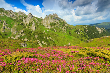 Magic pink rhododendron flowers in the mountains,Ciucas,Romania