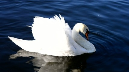 white swan floats on the river