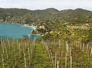 Vineyard at the sea.