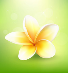 Plumeria flower on nature background