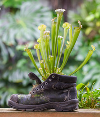 Pitcher plants in an old shoe