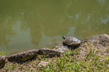 tartaruga al sole