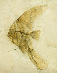 Fossil of a long-finned Batfish or Angel fish from Bolca, Italy