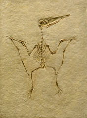 Pterodactyl Fossil. Pterodactilus Spectabilis.