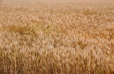Yellow ripe wheat stalks are ready to be harvested 2