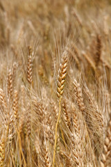 Yellow ripe wheat stalks are ready to be harvested 3