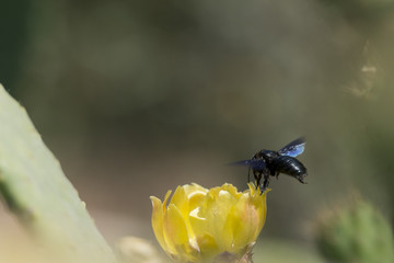 Black bee flying over Cactus flower