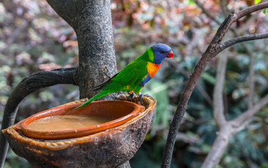 Rainbow Lorikeet, Trichoglossus haematodus, on a water dispenser
