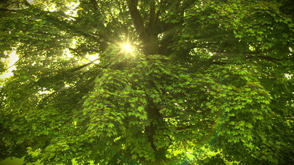 Beautiful Sunbeams through the tree. HD 1080.