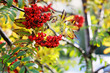 Close up bright rowan berries on a tree with yellow leaves