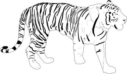 stripped tiger silhouette isolated on white