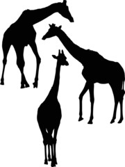 three giraffe silhouettes isolated on white