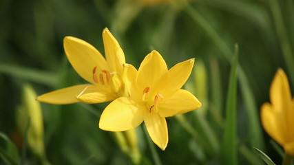 Yellow Lilies swaying in the wind. HD 1080.