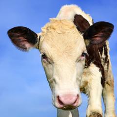 Head of the calf against the sky