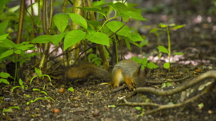 Beautiful Squirrel on the ground. HD 1080.
