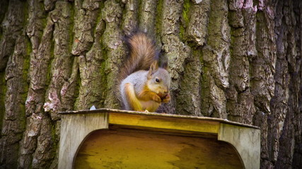 Beautiful Squirrel on the feeder eating Nut. HD 1080.