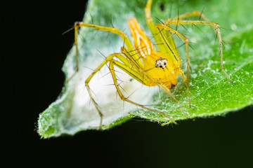 Lynx spider with Nest