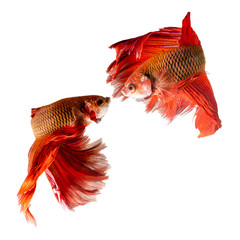 Two siamese fighting fish confronting each other