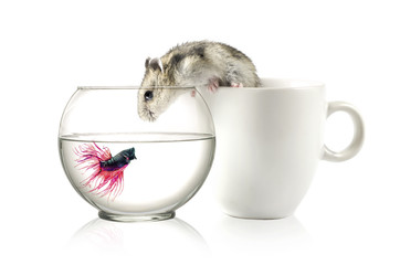 Betta in bowl and Hamster in cup  Isolated on white .
