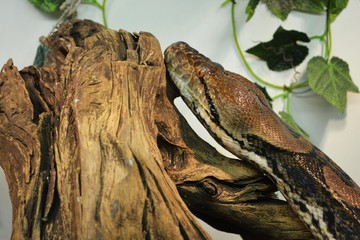 Python is resting on the log