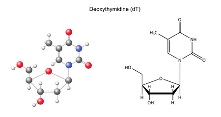 Structural chemical formula and model of deoxythymidine