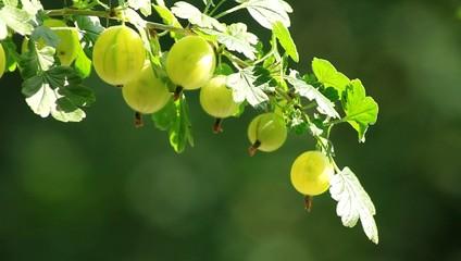Stachelbeere mit Früchten