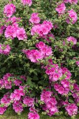 Pink Mallow Bush