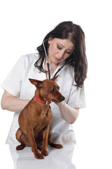 vet with a stethoscope examines a scared little dog
