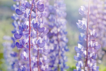 shallow DOF lupine flowers blooming field background