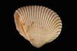 sea shell - 66960125