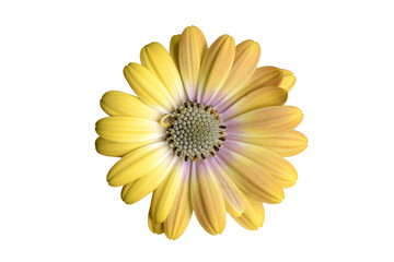Yellow osteospermum