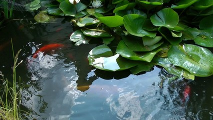 Coy Carp and Gold Fish on surface of pond