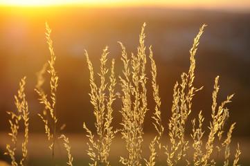 Getreide in der Sonne