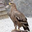 Aquila nipalensis - Aigle des steppes - Steppe Eagle