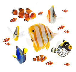 summer tropical reef fish  isolated on white background