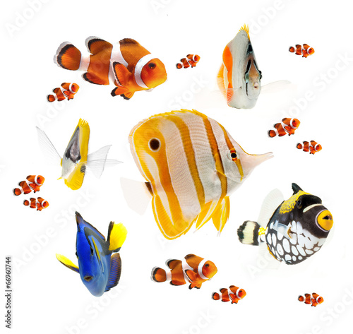 Fototapeta summer tropical reef fish isolated on white background