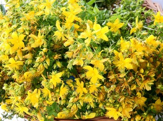 St.John's wort herb with yellow flowers