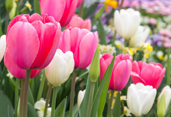 wonderful pink and white tulips