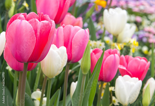canvas print picture wonderful pink and white tulips