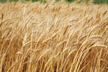 Close up stalks of wheat, grain harvest background