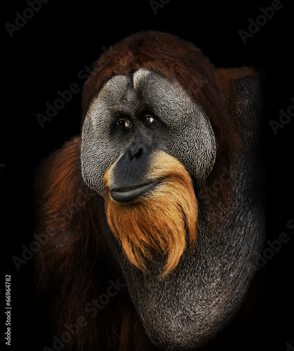 Foto op Canvas Aap Orangutan Portrait