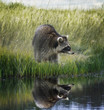Raccoon  On Grassy Bank