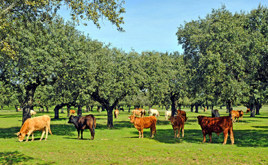 Breeding beef cattle in the pasture, Spain
